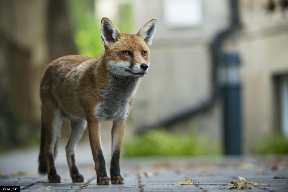 obr: Líšky chodia do mesta kvôli potrave. Zamykajte si stojiská!
