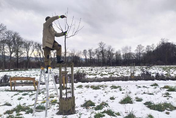 Na stromoch v ovocnom sade robili výchovný rez. S prvou úrodou sa počíta o päť rokov