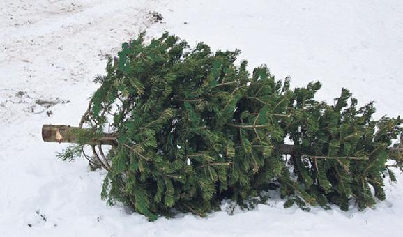 Aj tohto roku budeme zbierať živé vianočné stromčeky