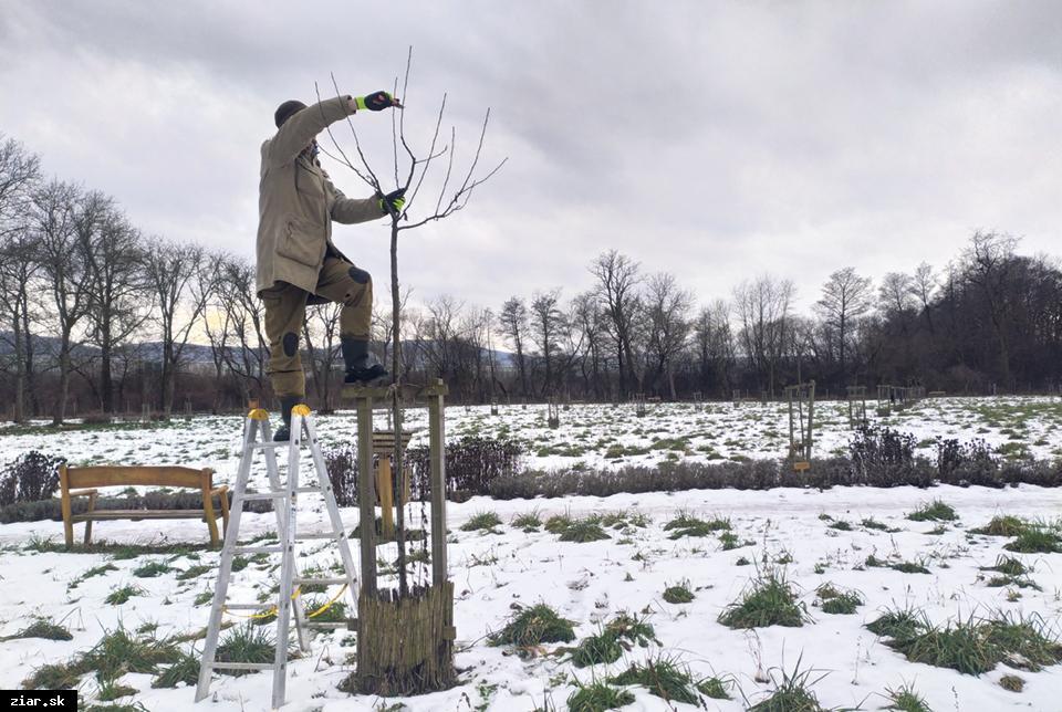 obr: Na stromoch v ovocnom sade robili výchovný rez. S prvou úrodou sa počíta o päť rokov